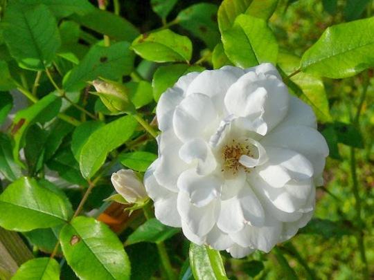 rosablnca (1)